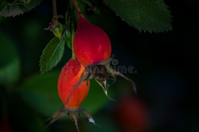 狗玫瑰莓果特写镜头  狗玫瑰色果子(罗莎canina) 狂放的野玫瑰果本质上 库存照片