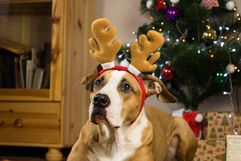 狗画象与吕多尔夫的驯鹿帽子和滑稽的耳朵在装饰的毛皮树和被包装的礼物前面 库存图片