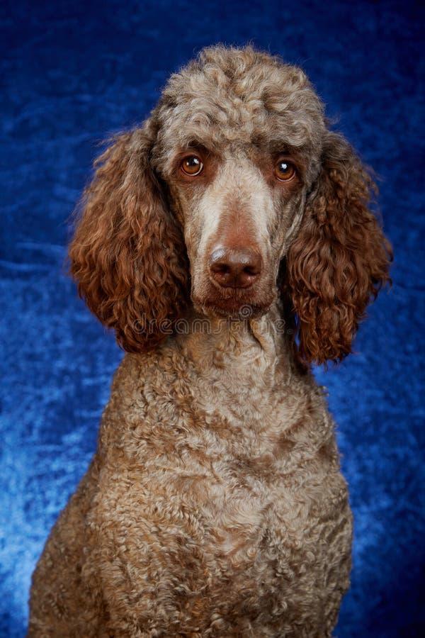 狗画象在演播室 库存图片