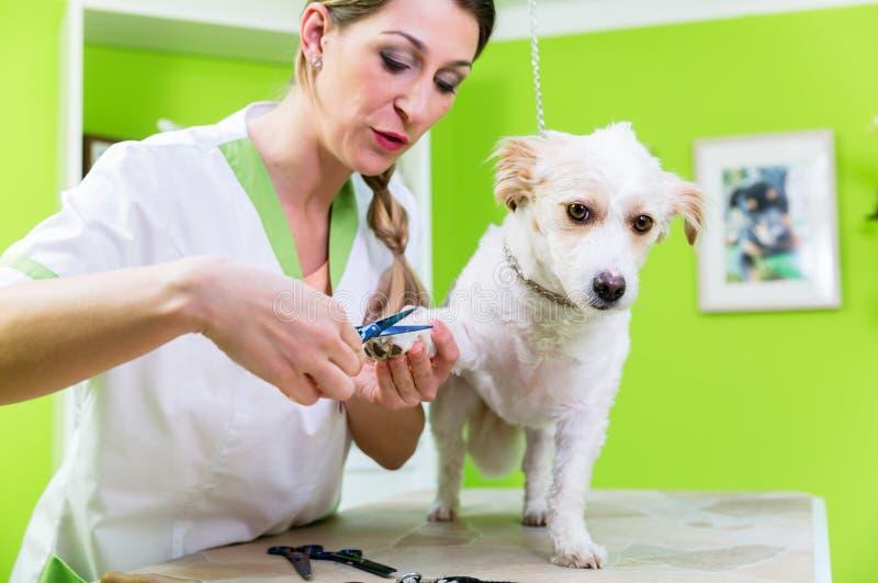狗的修指甲在宠物修饰沙龙 库存图片