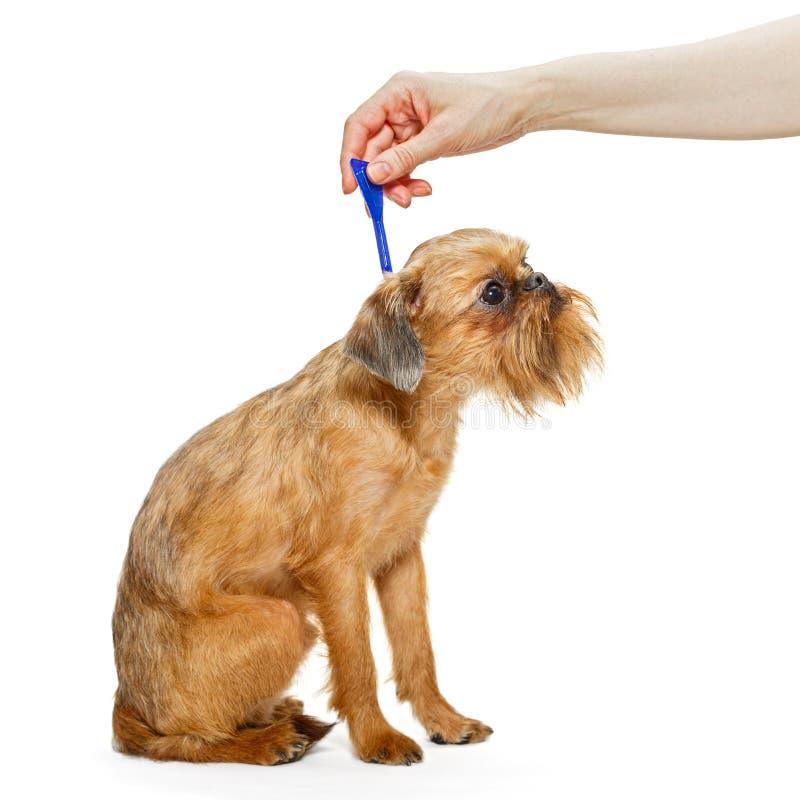狗的治疗蚤和壁虱的 免版税库存照片