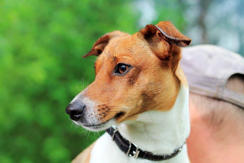 动物士狗交配_图片 包括有 纯血统, 本质, beautifuler, 空白, 毛皮, 交配动物者
