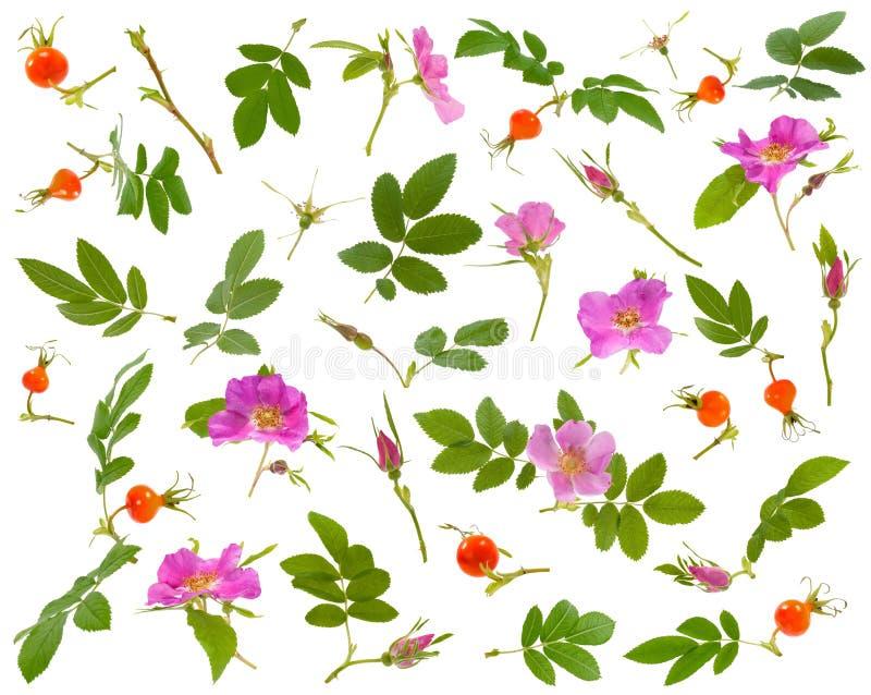 狗的许多叶子、花、莓果和芽上升了在白色背景的各种各样的角度 库存照片