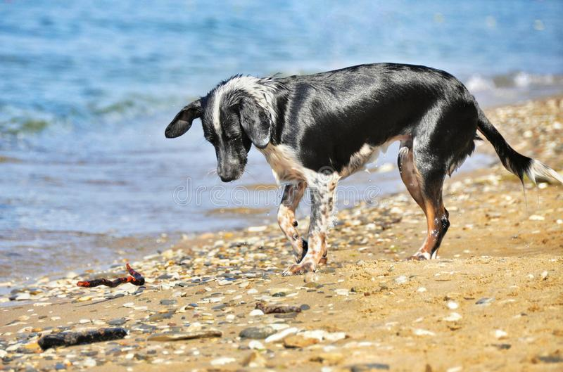 狗看见在海滩的小卵石 库存图片