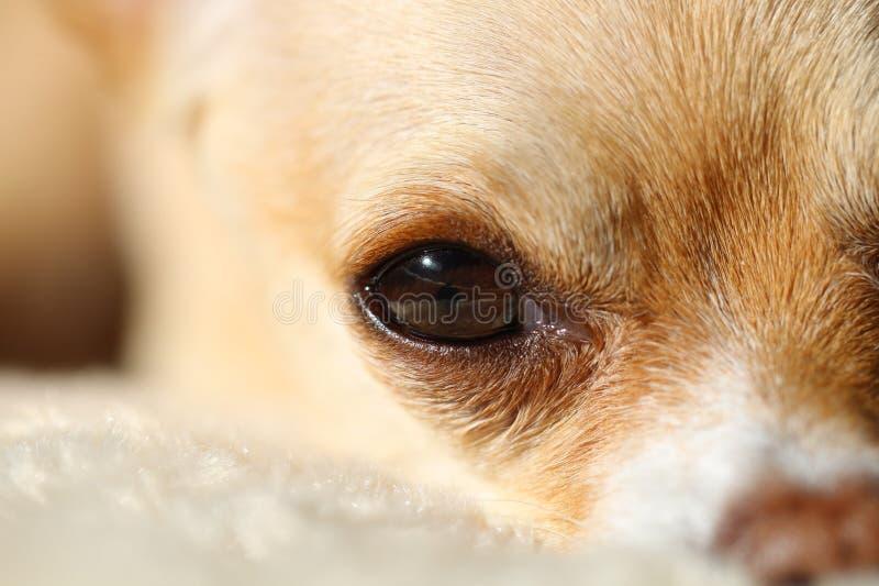 狗眼睛特写镜头 免版税库存图片