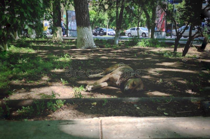 狗睡着了在遏制,是时间休息动物野生生物的狗的一热的天 库存图片