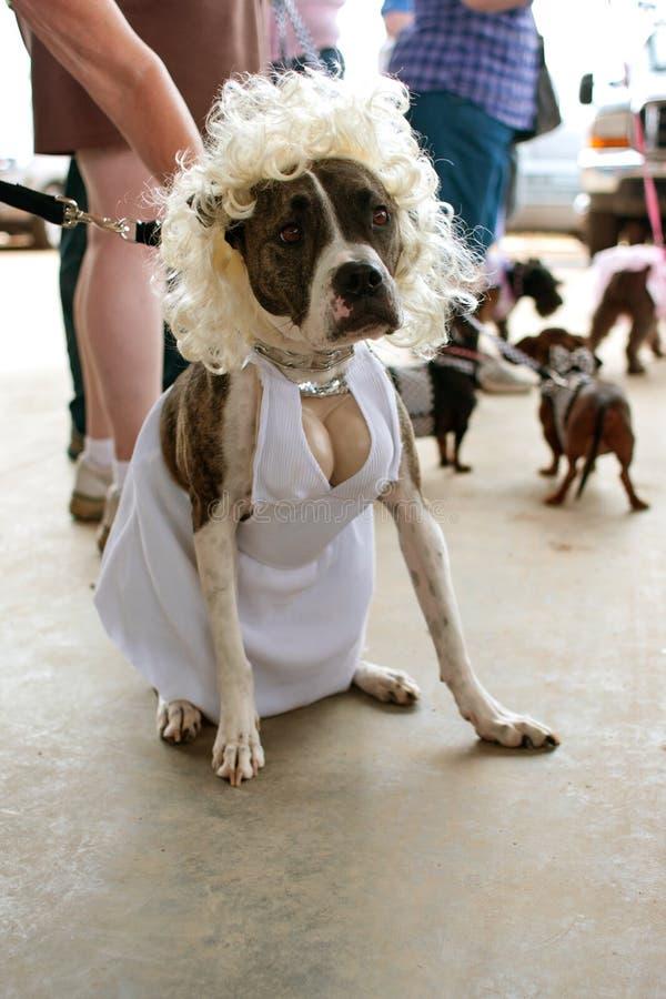 狗穿在比赛的玛丽莲・梦露服装 库存图片