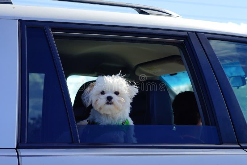 狗窗口汽车 库存图片