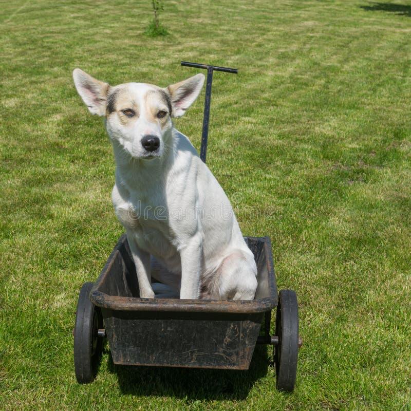狗等待的大师将驾驶这辆凉快的似犬出租汽车 免版税库存图片