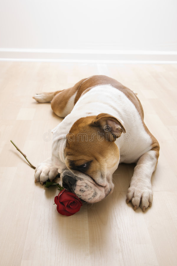 狗红色上升了嗅 库存图片