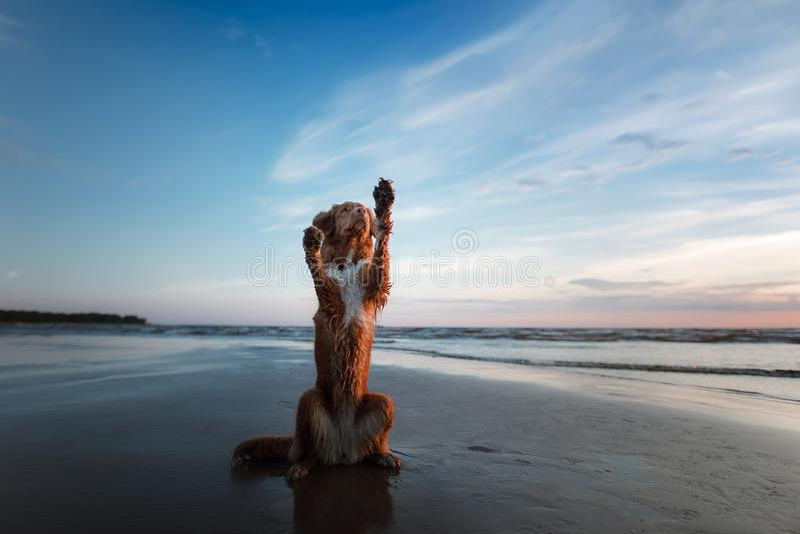 狗给他的爪子 在海、一个假期和一种健康生活方式的一只宠物 库存图片