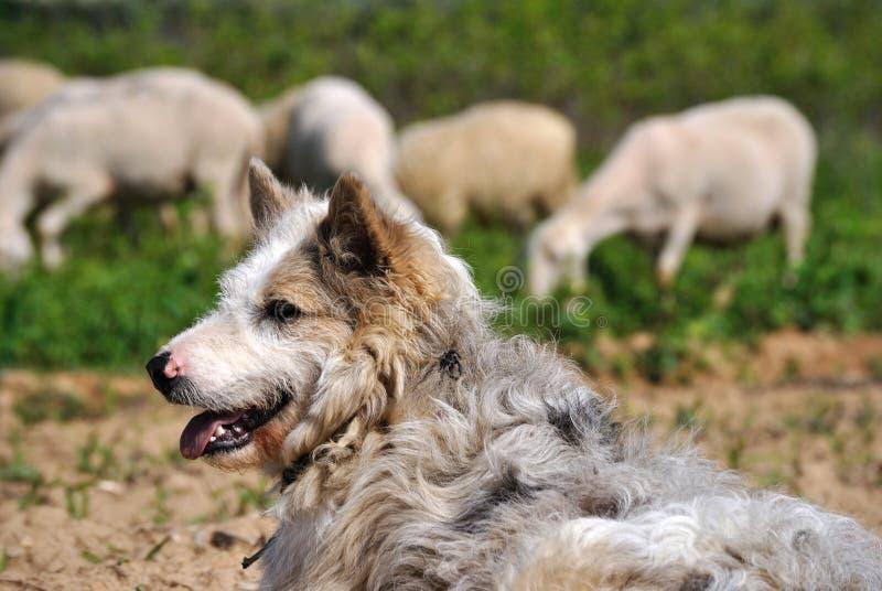 狗绵羊 库存照片