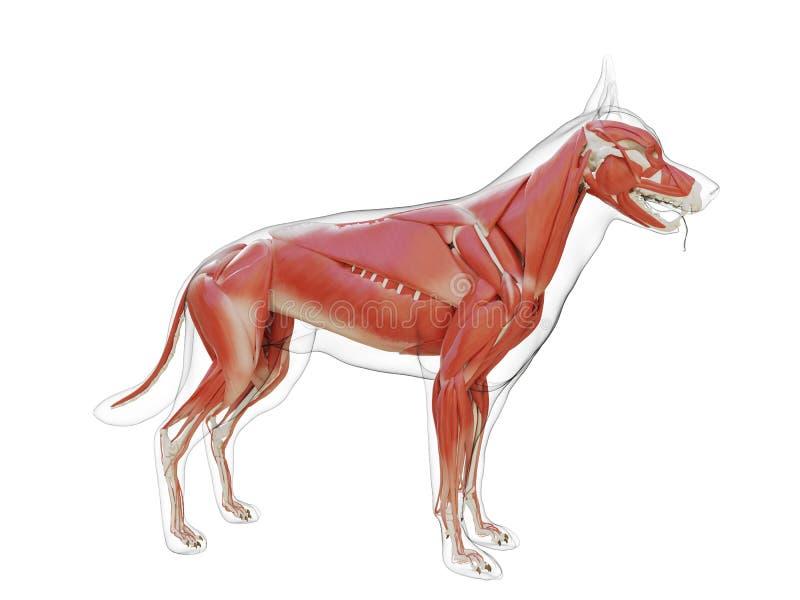 狗肌肉系统 皇族释放例证