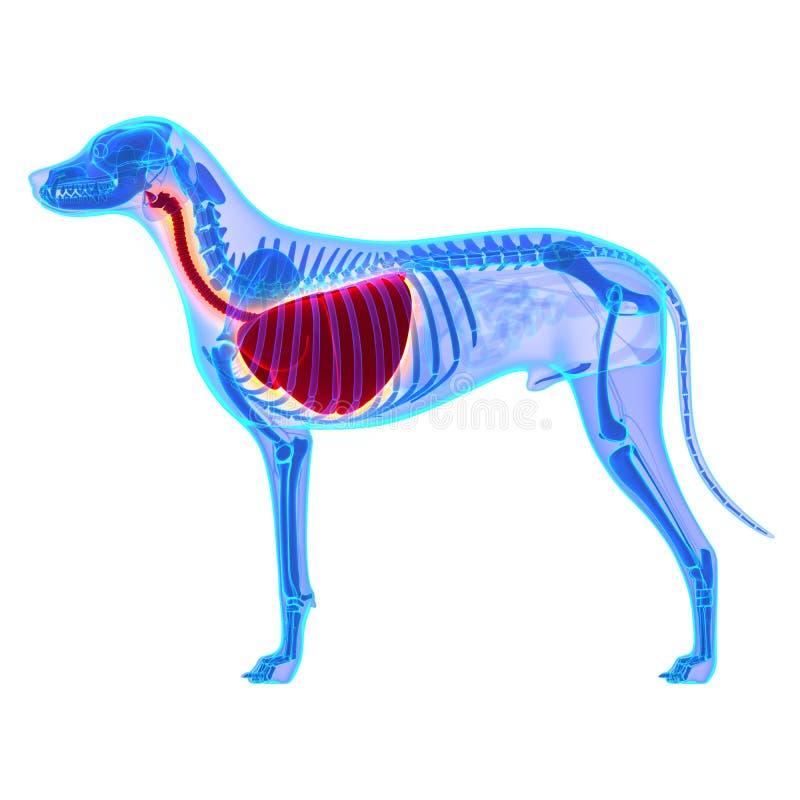 狗胸部/肺解剖学-天狼犬座Familiaris解剖学-是 库存照片