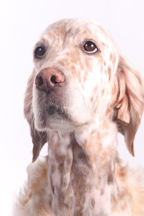 狗英国塞特种猎狗 免版税库存照片