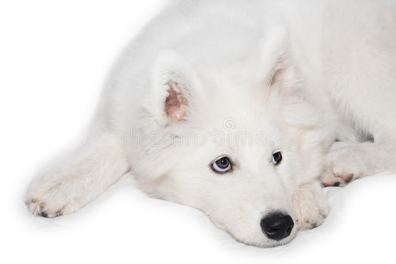 狗萨莫耶特人 库存图片
