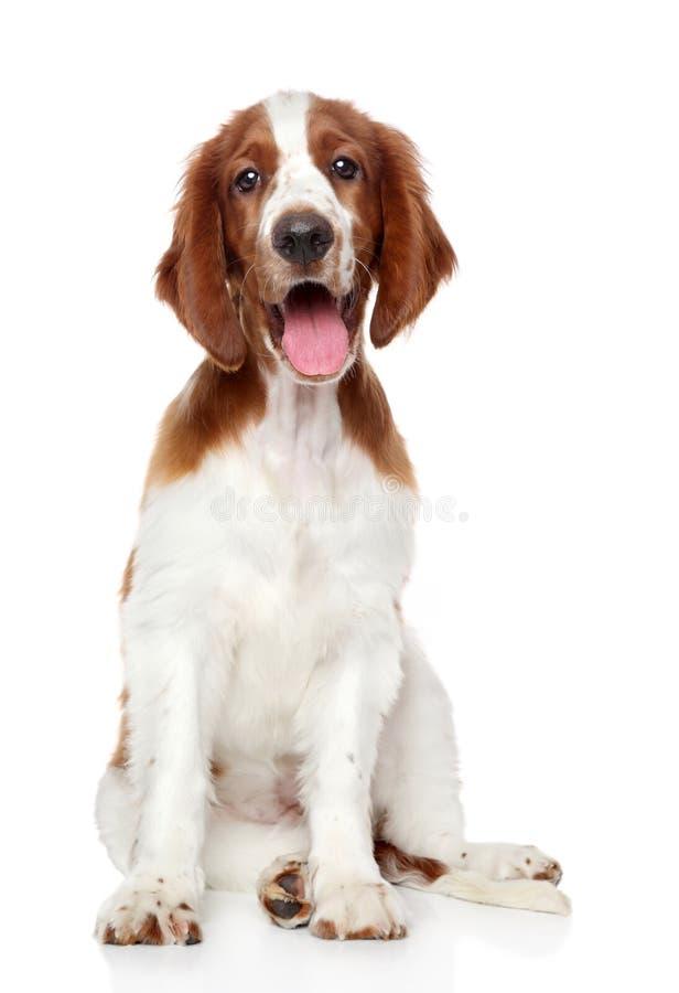狗西班牙猎狗蹦跳的人威尔士 免版税库存图片