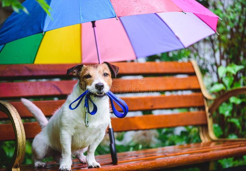 狗要去散步坐长凳在五颜六色的伞下在雨期间 免版税库存图片
