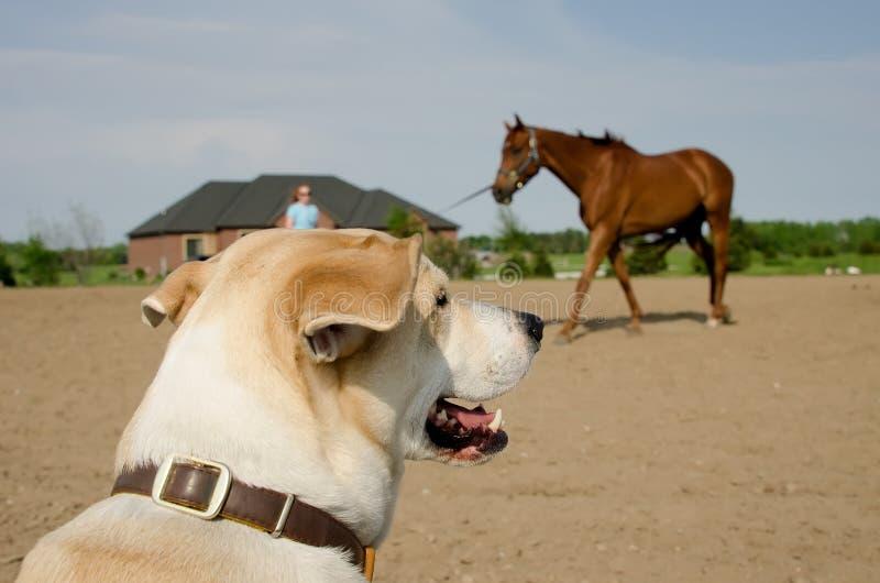 狗观看的马训练 免版税图库摄影