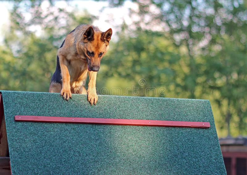 狗训练aport 库存照片