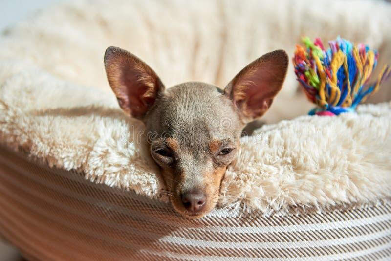 狗谎言和休息 俄国玩具狗, Russkiy玩具, Toychik 库存图片