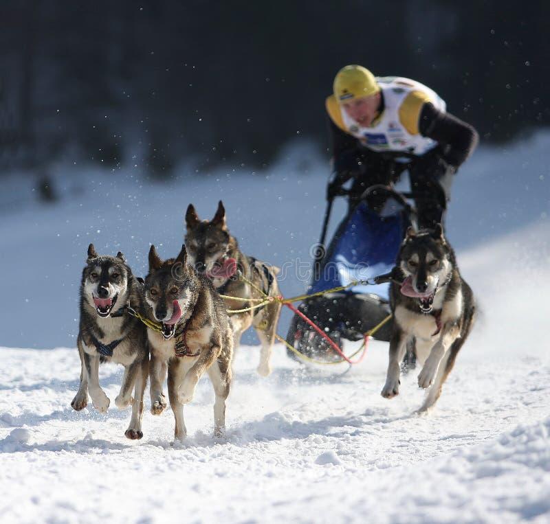 狗赛跑雪撬 免版税库存照片