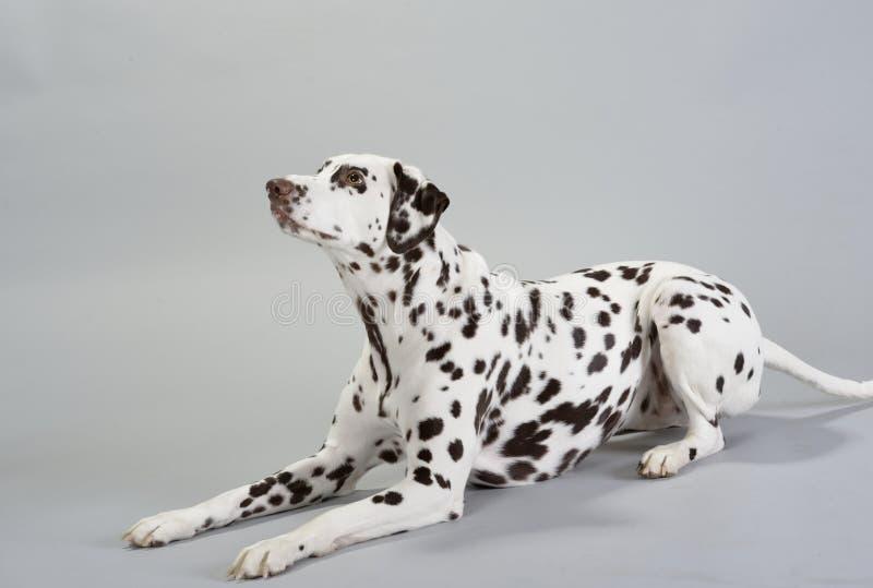 狗达尔马提亚狗 免版税库存图片