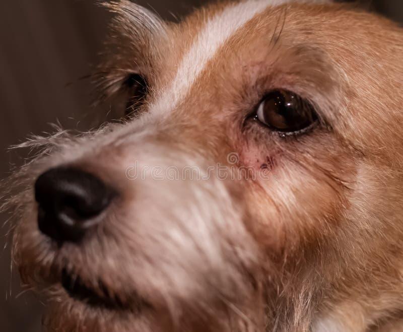 狗过敏痒的眼睛皮肤nad毛皮疾病 特写镜头抓痕 库存照片