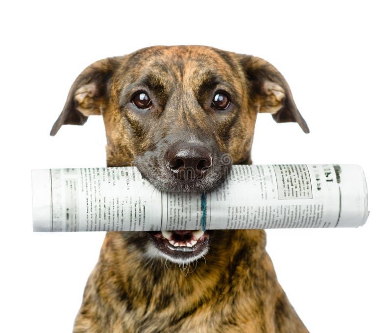 狗运载的报纸 背景查出的白色 免版税库存图片