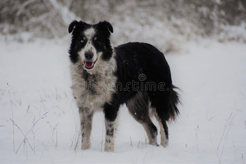 狗连续雪 库存照片