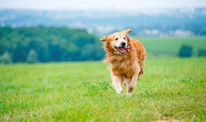 狗金毛猎犬运行中 免版税图库摄影