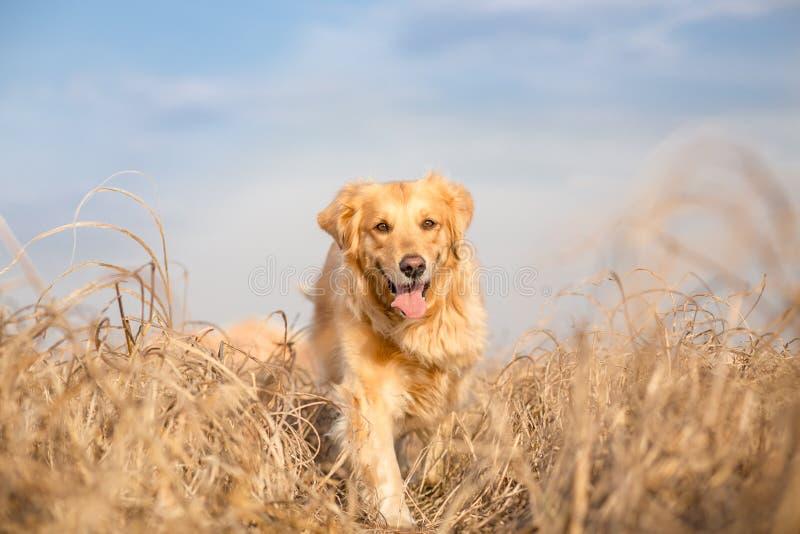 狗金毛猎犬运行中 免版税库存照片