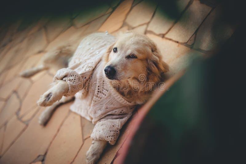 狗金毛猎犬 图库摄影