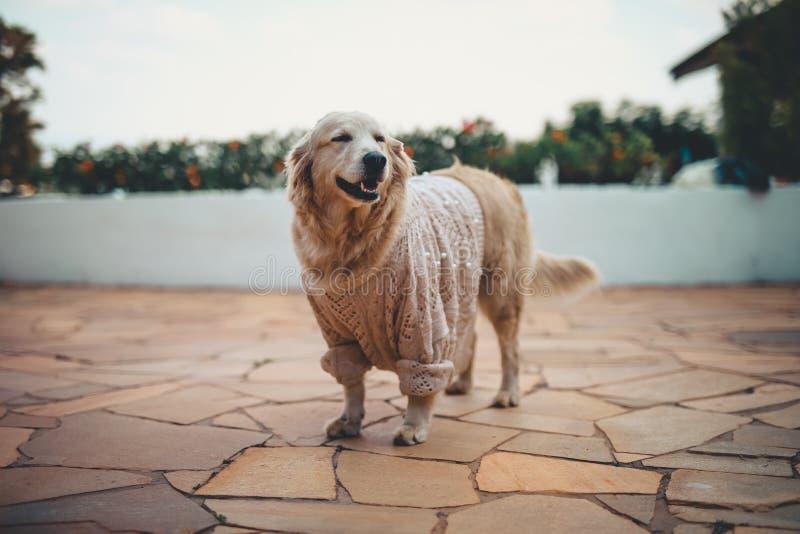 狗金毛猎犬 免版税库存照片