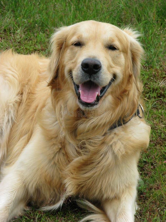 狗金黄愉快的猎犬 图库摄影