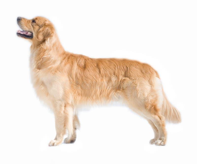 狗金黄查出的猎犬 免版税图库摄影