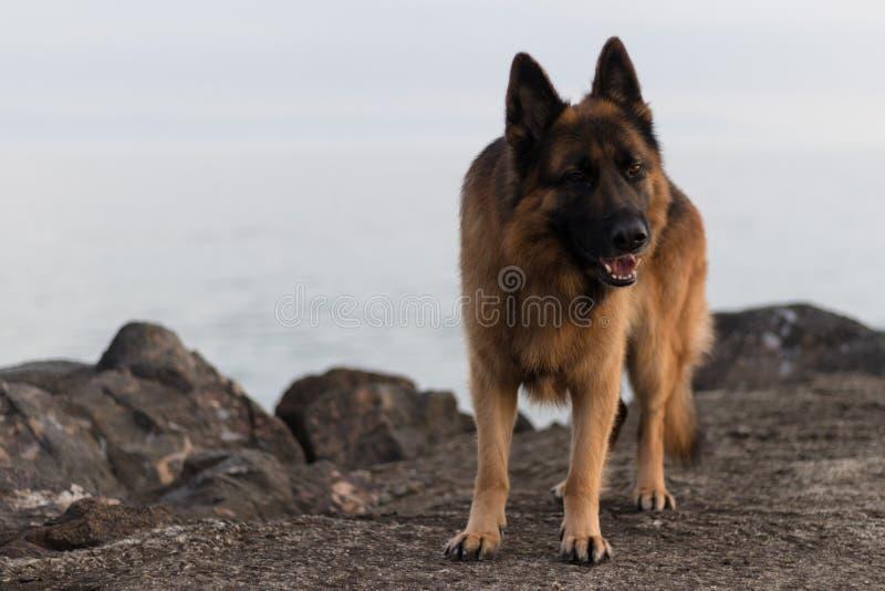 狗阿瑞斯的画象照片 库存图片