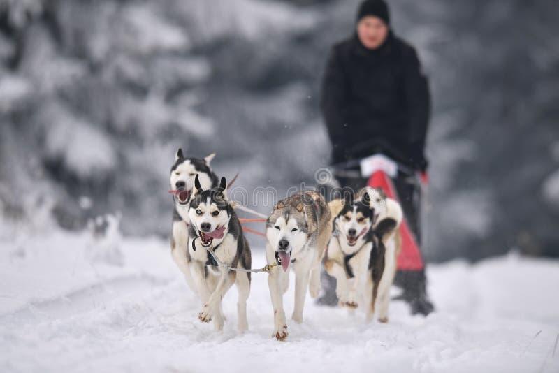 狗雪撬种族 库存图片