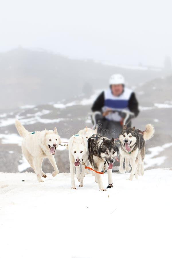 狗雪撬雪 库存照片
