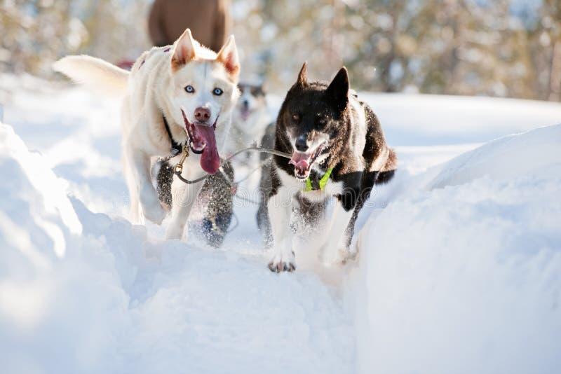 狗雪撬 库存照片