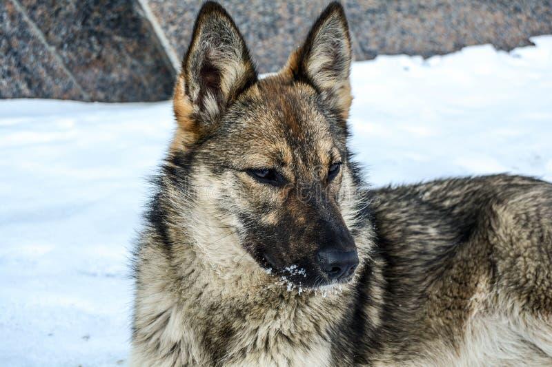 狗非常类似于狼坐并且凝视入距离 免版税图库摄影