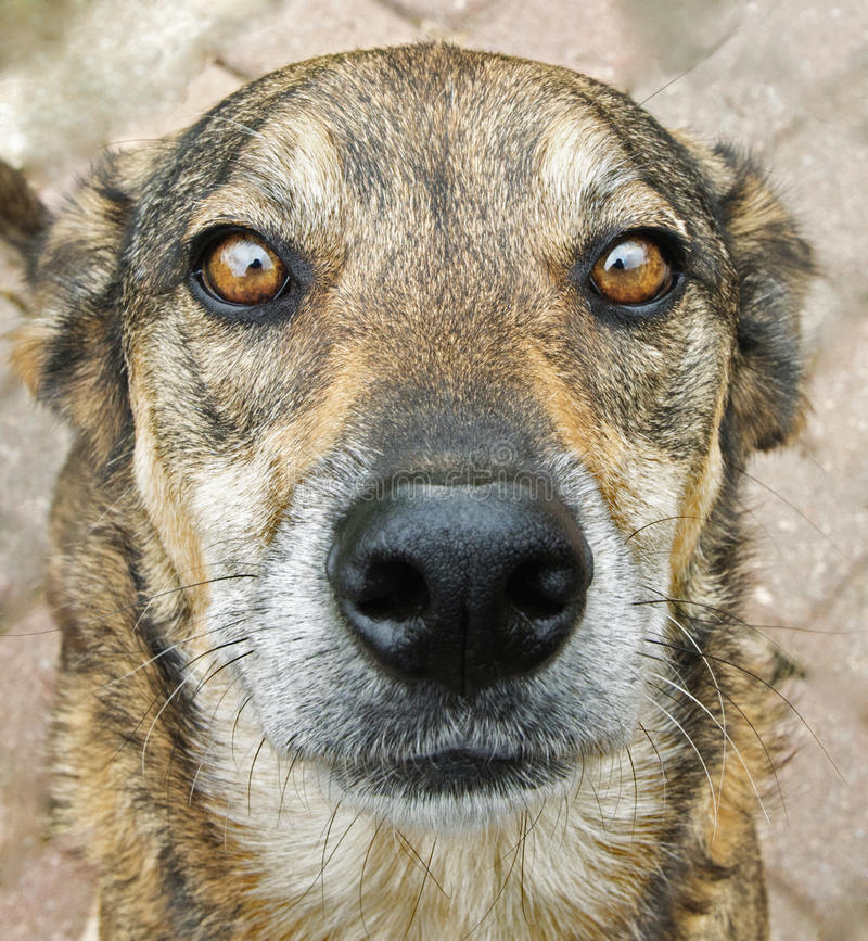 狗面孔 免版税图库摄影