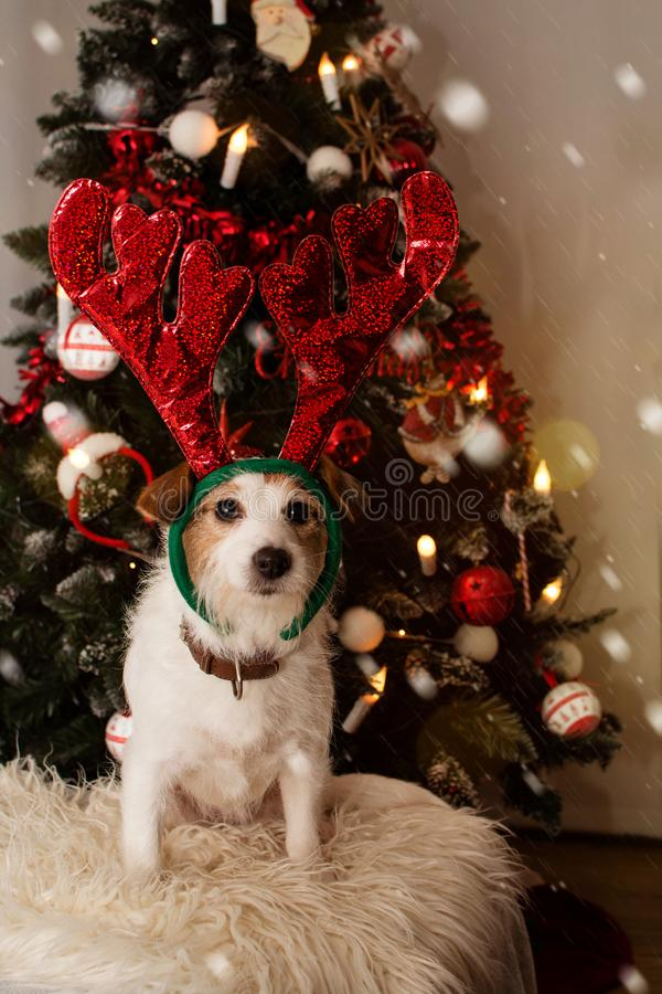 狗驯鹿 圣诞节的圣诞老人小的帮手杰克罗素王冠,象背景的DEFOCUSED圣诞灯树 库存照片