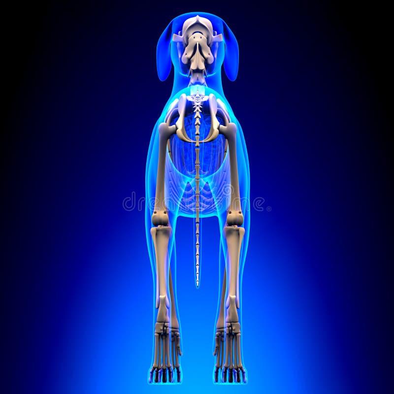 狗骨骼-天狼犬座Familiaris解剖学-后面看法 库存照片