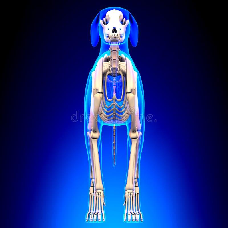 狗骨骼-天狼犬座Familiaris解剖学-正面图 免版税图库摄影