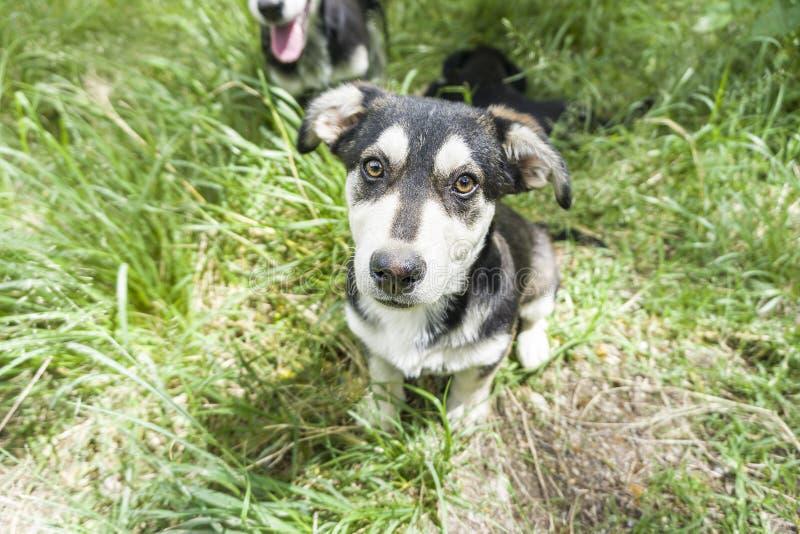 狗,与爱斯基摩的年轻德国牧羊犬十字架在一棵绿色年轻草 库存照片