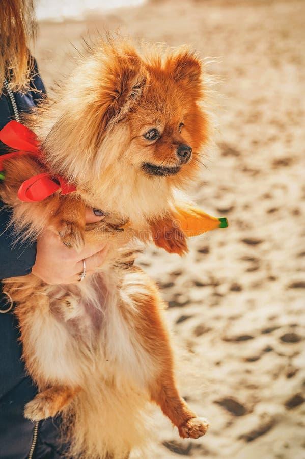 狗,小狗坐他的手和朝右边看 免版税库存照片