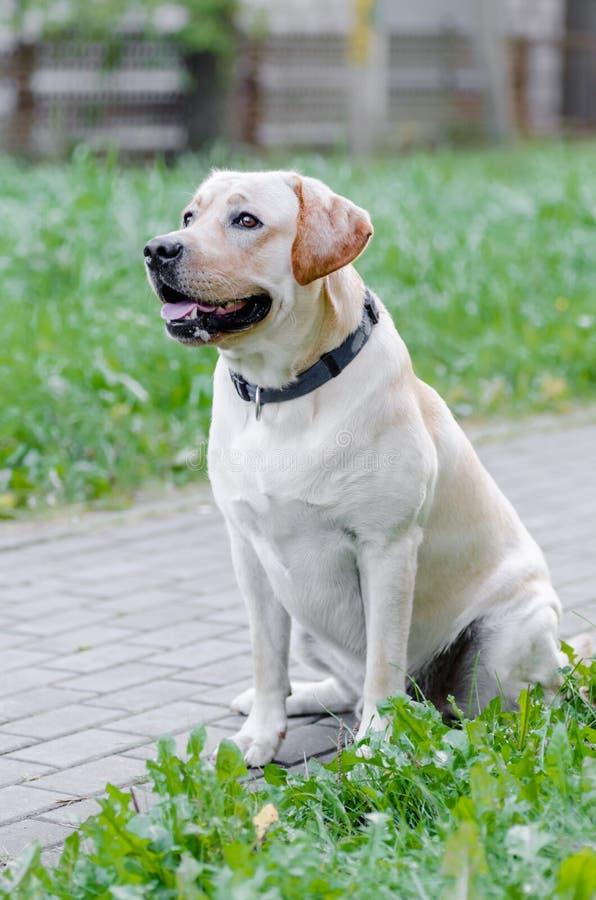 狗,拉布拉多,纯血统的动物,狗毛皮,动物,年轻人,褐色,黄色,白色,金子,美丽 库存图片