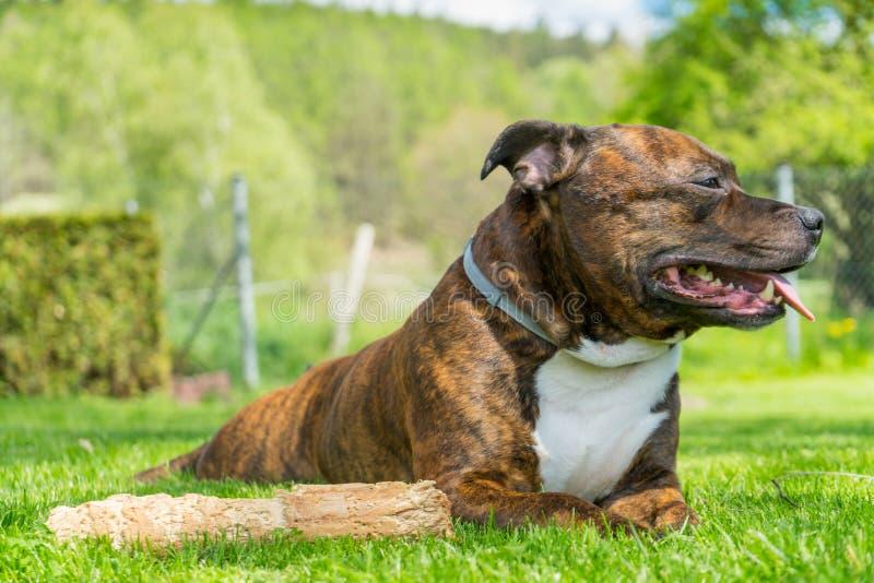 狗,斯塔福德郡杂种犬,说谎在新近地cutted草w 免版税库存照片
