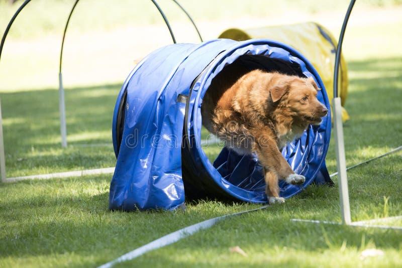 狗,新斯科舍鸭子敲的猎犬,跑通过敏捷性 库存图片